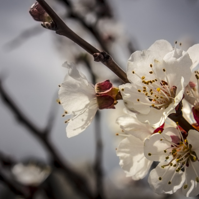 """Apricot flower"" stock image"