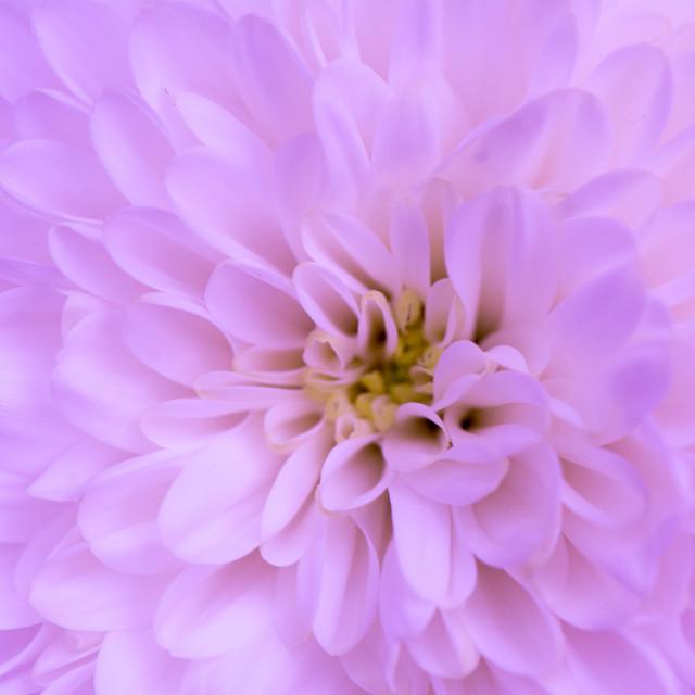 """""""Pink chrysanthemum"""" stock image"""