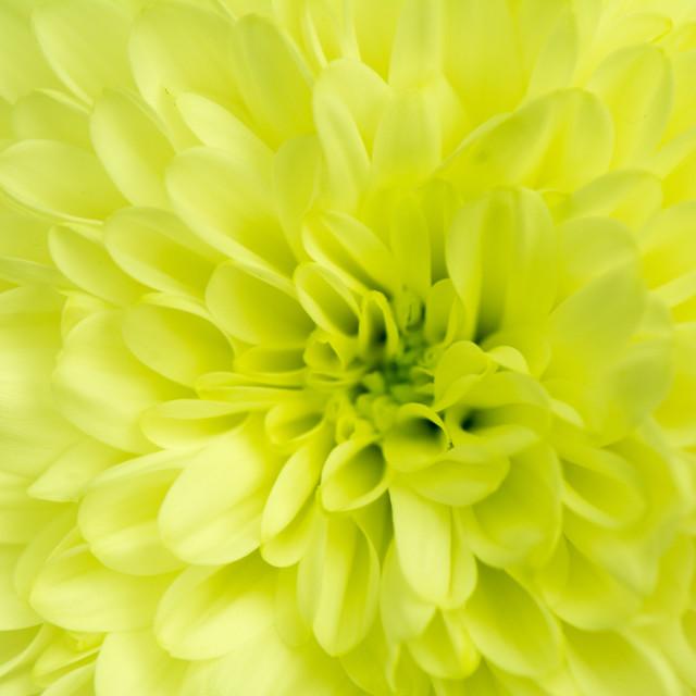 """""""chrysanthemums"""" stock image"""