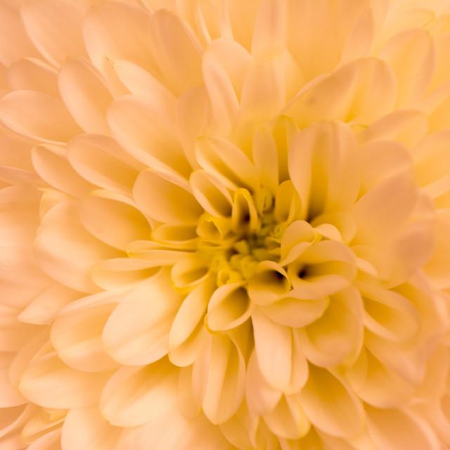 """""""Orange chrysanthemum"""" stock image"""