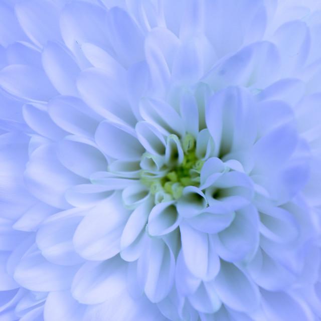 """Blue chrysanthemum"" stock image"