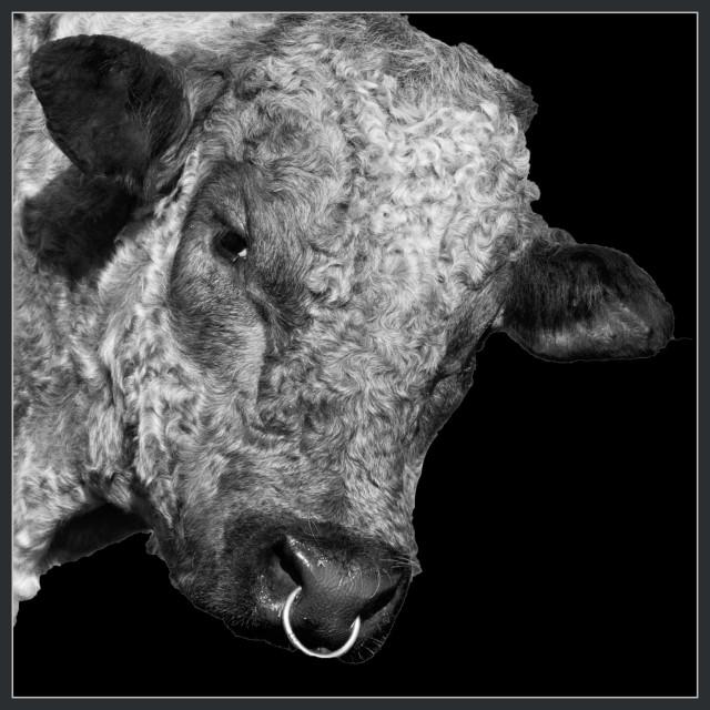 """Bull ring"" stock image"