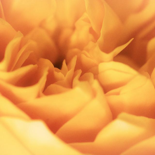 """Sea of petals"" stock image"