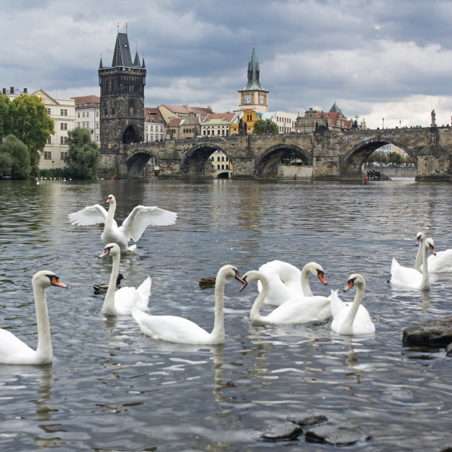 """PRAGUE SWANS"" stock image"