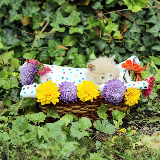 """""""cute kitten in wicker basket"""" stock image"""