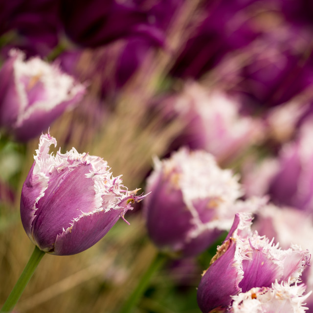 """Shaggy purple tulips"" stock image"
