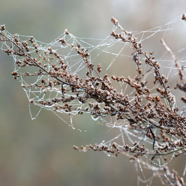 """""""branch with dew drops and spider net"""" stock image"""
