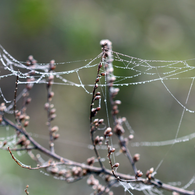 """""""branch with dew drops and spider cobweb"""" stock image"""