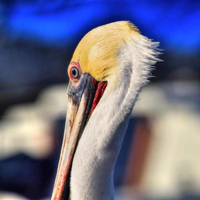 """Brown Pelican"" stock image"