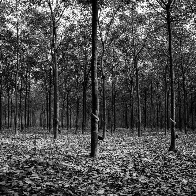 """The rubber tree plantation. Black and white"" stock image"