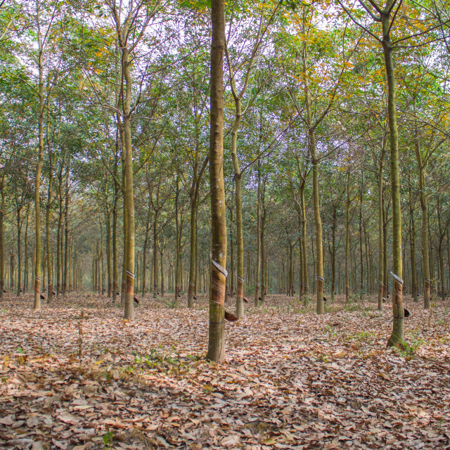 """The rubber tree plantation"" stock image"