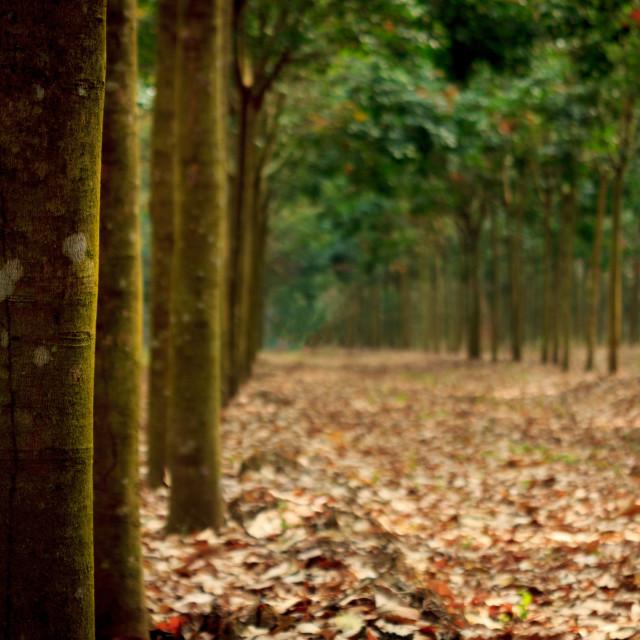 """Rubber tree plantation"" stock image"