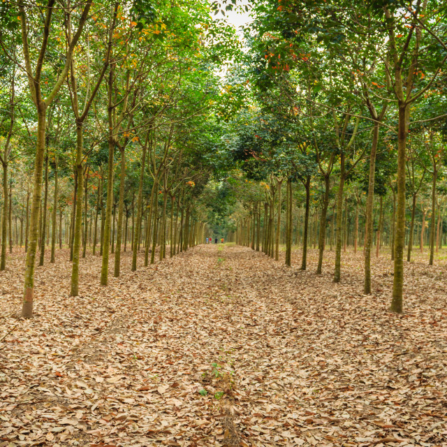 """""""Plantation of rubber trees"""" stock image"""