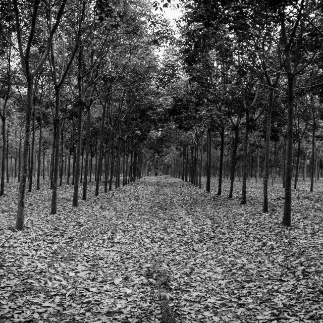 """Plantation of rubber trees. Black and white"" stock image"