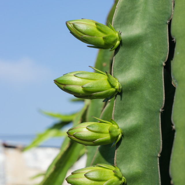 """The dragon fruit bud"" stock image"