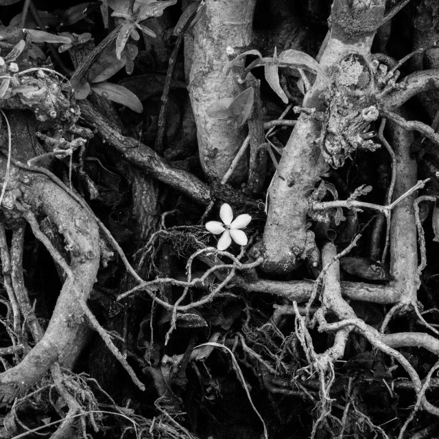 """Alone flower. B&W"" stock image"