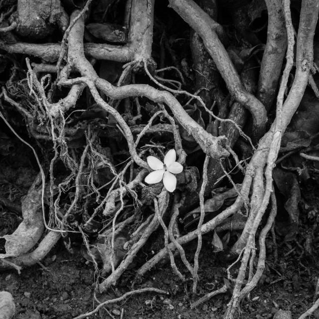 """One white flower. B&W"" stock image"