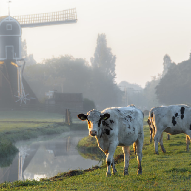 """Dutch cows"" stock image"