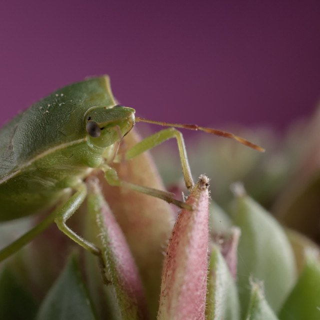 """""""Green insect stinkbug on sempervivum succulent plant against pink background"""" stock image"""