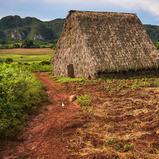 """""""Tobacco plantation in Vinales Valley,Cuba."""" stock image"""