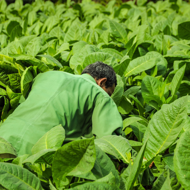 """""""Valle de Vinales, CUBA - JANUARY 19, 2013: Man working on Cuba famous and bigest tobacco plantation in Vinales Valley , CUBA.Traditional techniques are still in use for agricultural production, particularly of tobacco."""" stock image"""