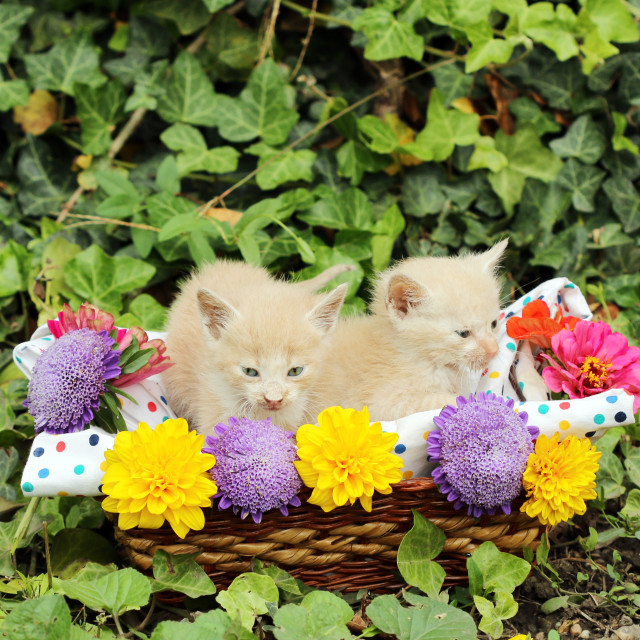 """""""two kittens in wicker basket with flowers"""" stock image"""
