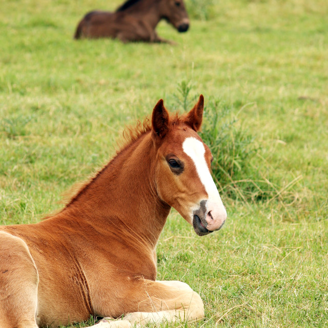 """two foals lying on meadow"" stock image"