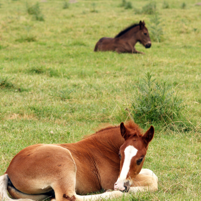 """two foals lying on pasture"" stock image"