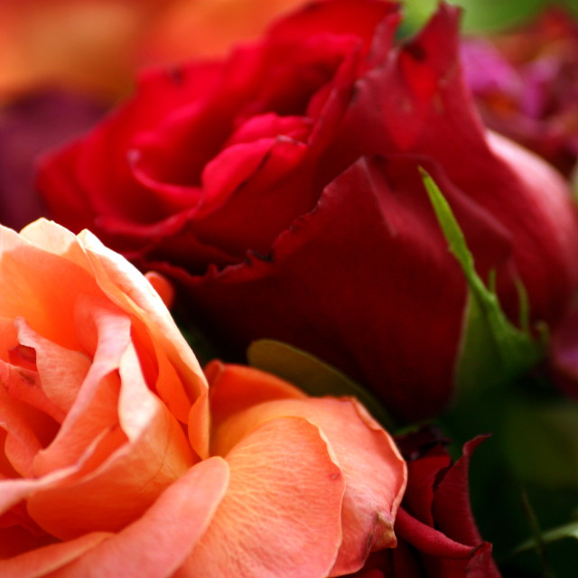 """""""The beauty of roses"""" stock image"""