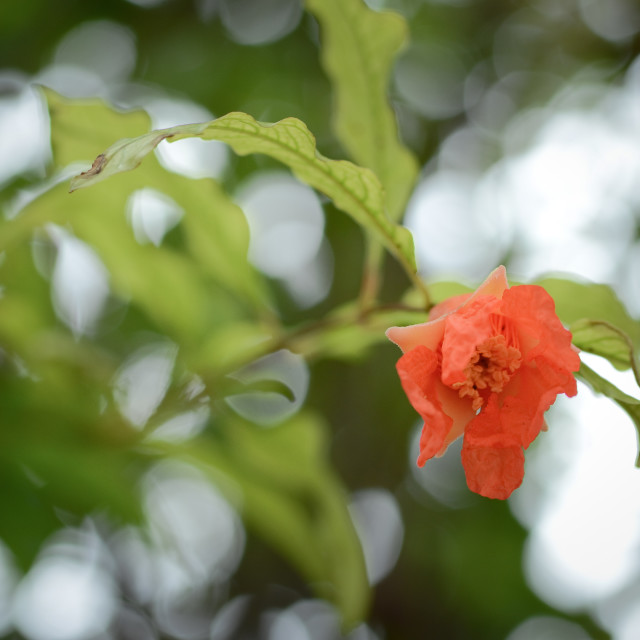 """Pomegranate Flower"" stock image"