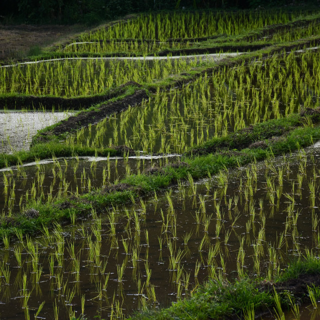 """Close up of Rice Terrace"" stock image"