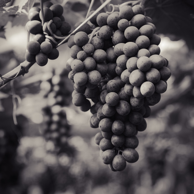 """Grapes in Contrast"" stock image"