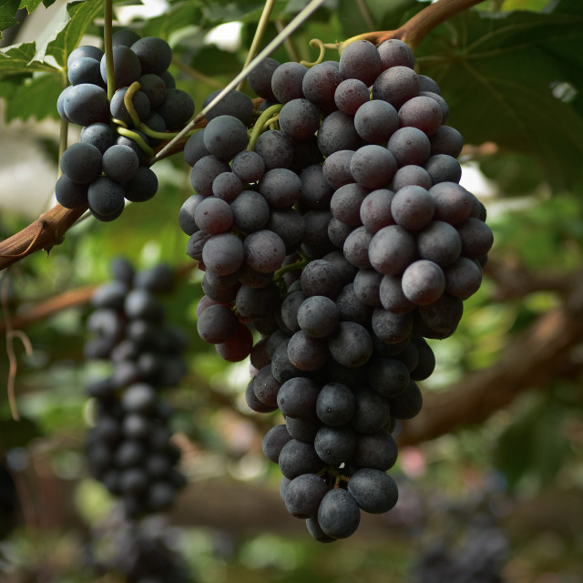 """Red Grape Cluster"" stock image"