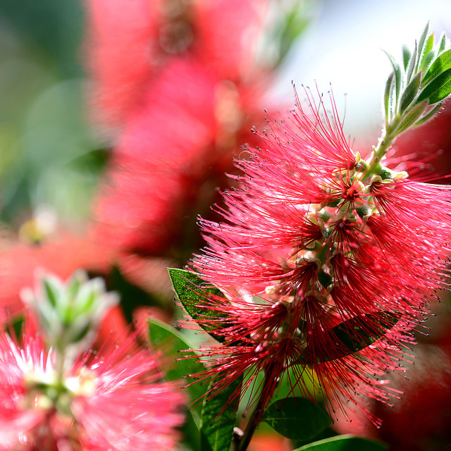 """Bottle Brush Calistemon"" stock image"