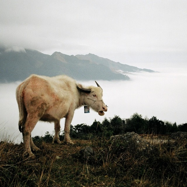 """Albino buffalo"" stock image"