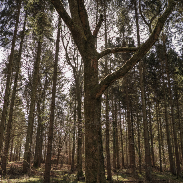 """Woodland Trees"" stock image"