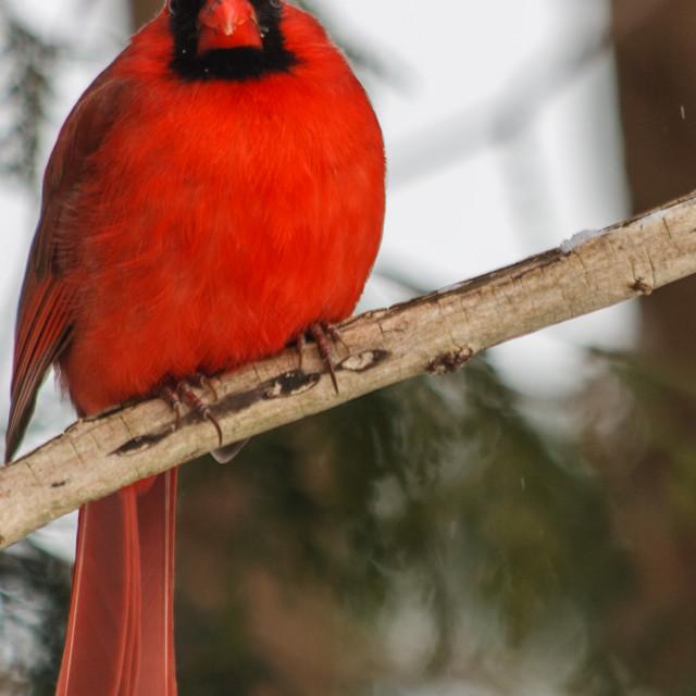 """""""Curious Cardinal"""" stock image"""