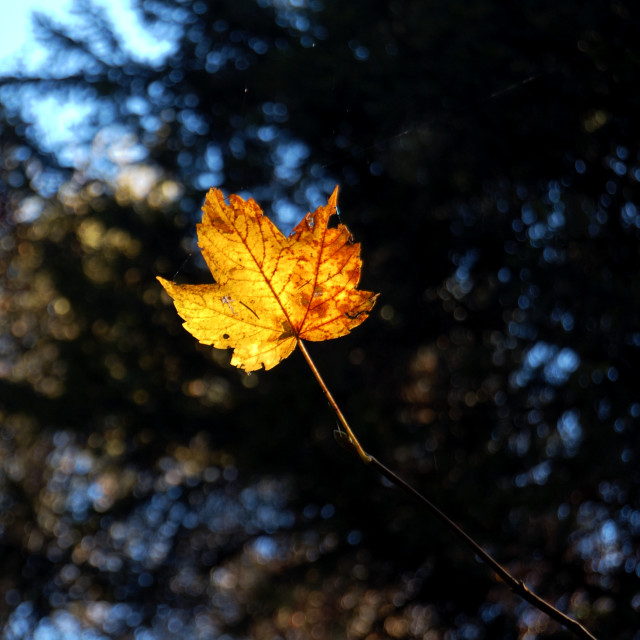 """Golden Leaf"" stock image"