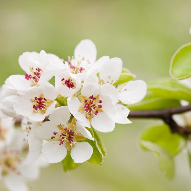 """White flowering Pyrus macro"" stock image"