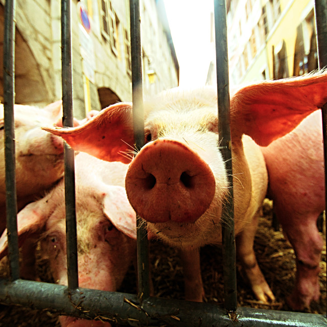"""A Pig Looks Out Of Its Pen at the Fête du Caïon"" stock image"