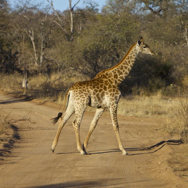 """Safari, South Africa"" stock image"