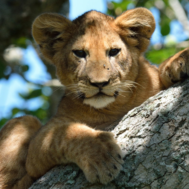 """Lion cub in tree"" stock image"