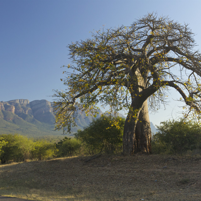 """Baobab tree, South Africa"" stock image"