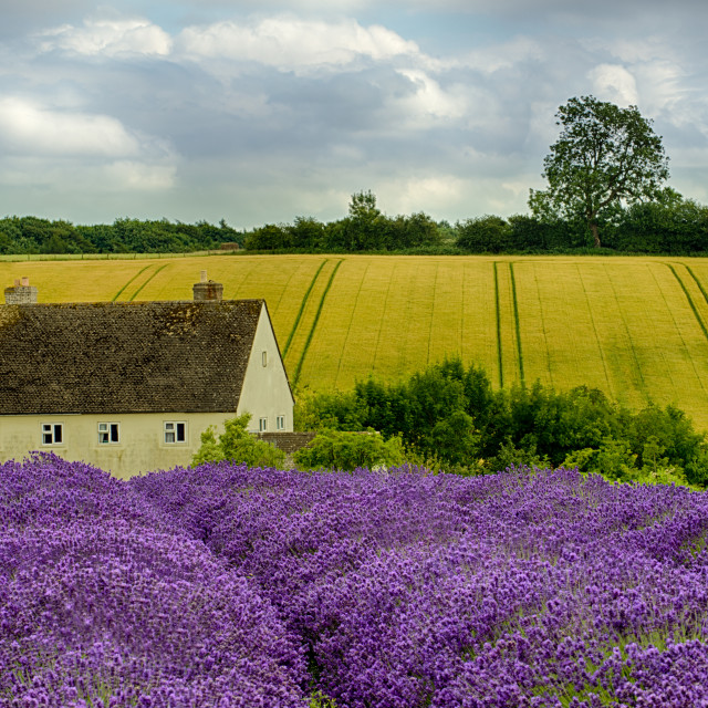 """""""Cotswold Lavender"""" stock image"""