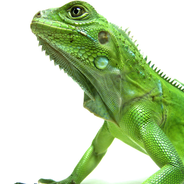 """Green Iguana"" stock image"