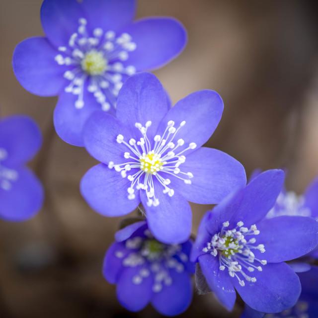 """Blue anemone"" stock image"