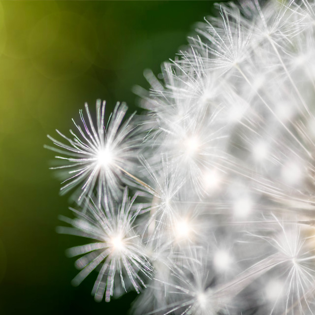 """Dandelion close up"" stock image"