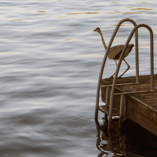 """""""A watchful Heron"""" stock image"""