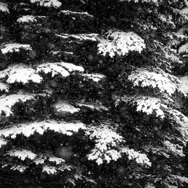 """Snowy fir branches"" stock image"