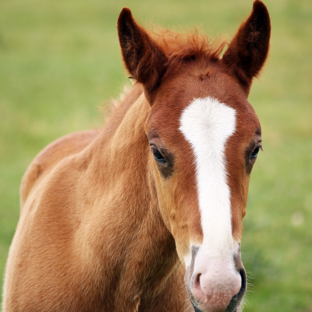 """cute brown foal portrait"" stock image"